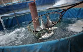 دانلود تحقیق پرورش ماهی