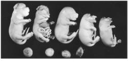 دانلود پاورپوینت اثرات پرتوها بر رویان و جنین